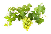 Green grapes on branch — Stock Photo
