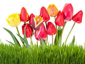 Yellow and red tulips with grass — Stock Photo