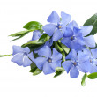 Periwinkle blue flower — Stock Photo