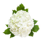 White Flowers Isolated — Stock Photo