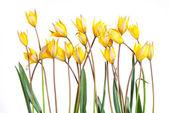 Wild yellow tulip flower — Stock Photo