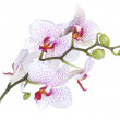Orchid flowers isolated — Stock Photo