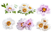 Peonies flower isolated — Stock Photo