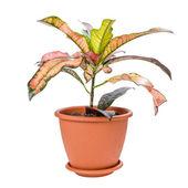 Croton in pot — Стоковое фото