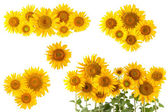 Sunflower bushes and flower — Stock Photo