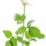 Beautiful rose flowers 04 — Stock Photo
