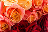 Many rose flowers — Foto Stock