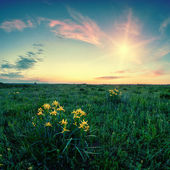 Flowers in a field at dawn — Stock Photo