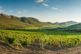 Vineyards in mountain — Stok fotoğraf