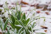 Snowdrops in hoarfrost — Stock Photo