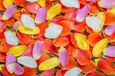 Flower petals of a tulip — Stock Photo