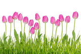 Tulip flowers with grass — Stockfoto