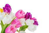 Close up tulip flowers — Stock Photo