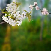 Třešňové větve s bílými květy — Stock fotografie