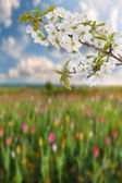 Cherry branch and field of tulips — 图库照片