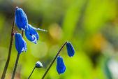 Scilla blue flowers — Stock Photo