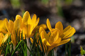 Crocus flowers on the glade — Stok fotoğraf