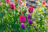 Tulip meadow in garden — Stock Photo