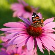 Echinacea with butterfly — Stock Photo #26056143