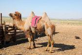 Animal husbandry on the Mongolian grasslands — Stock Photo