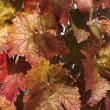 Stock Photo: Reddish foliage