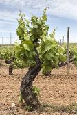 Old vines — Stock Photo
