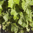 Grapevines — Stock Photo #14085671