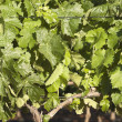 Grapevines — Stock Photo #14094033