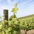 Grapevines — Stock Photo #14094344