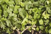 Grapevines — Stock Photo