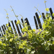 Grapevines — Stock Photo #14169657