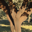 Cork tree - Stock Photo