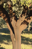 Cork tree — Stock Photo