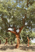 Cork trees — Stock Photo