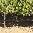 Grapevines — Stock Photo #23883267