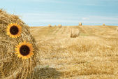 Sunflowers on a bale of straw — Stock Photo