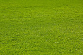 Green lawn grass for golf, texture — Stock Photo