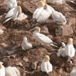 Gannets on a Nesting Island — Stock Photo