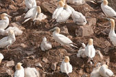 Gannets on a Nesting Island — Stock Photo