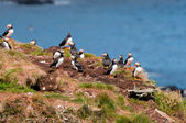 Puffins on a nesting rock — Stock Photo