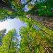 Looking up in Redwood Forest — Stock Photo #12545417