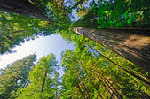 Looking up in a Redwood Forest — Stock Photo