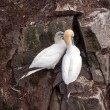 Stock Photo: Mating Gannets on rock outcrop