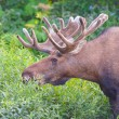 Moose Feeding in the Willlows - Stock Photo