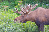 Moose Feeding in the Willlows — Stock Photo