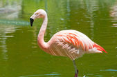 Flamingo in Tropical Pond — Stock Photo