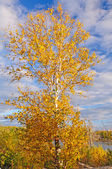 Birch Tree in Fall Colors against a blue sky — Stock Photo