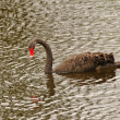 BLack Swan in a remote Pond - Stock Photo