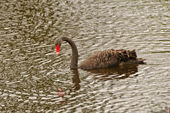 BLack Swan in a remote Pond — Stock Photo