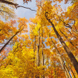 Forest Giants in Fall Foliage - Stock Photo